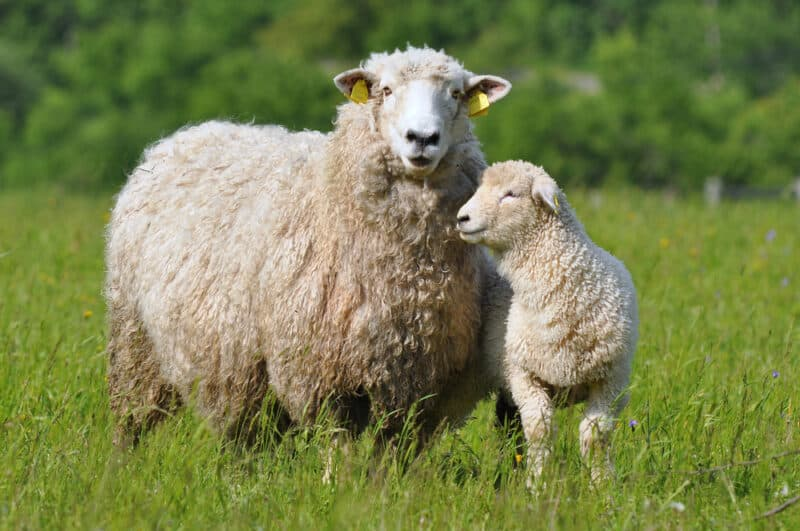 7 Tips to Consider When Buying Sheep or Lambs