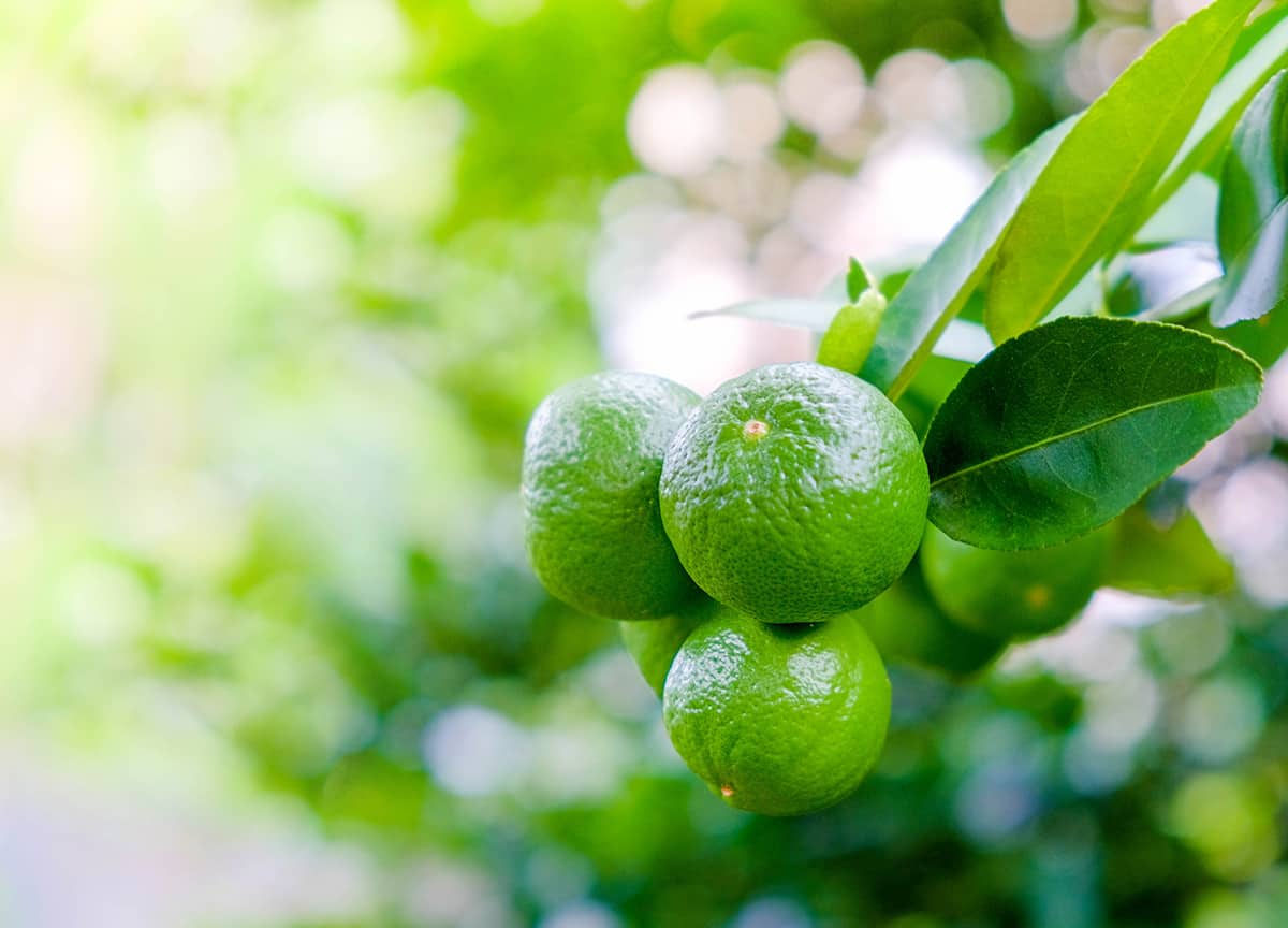 Growing Limes: Best Varieties Planting Guide Care and ...