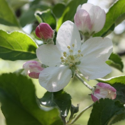 orchard flower Morning Dew Flowers