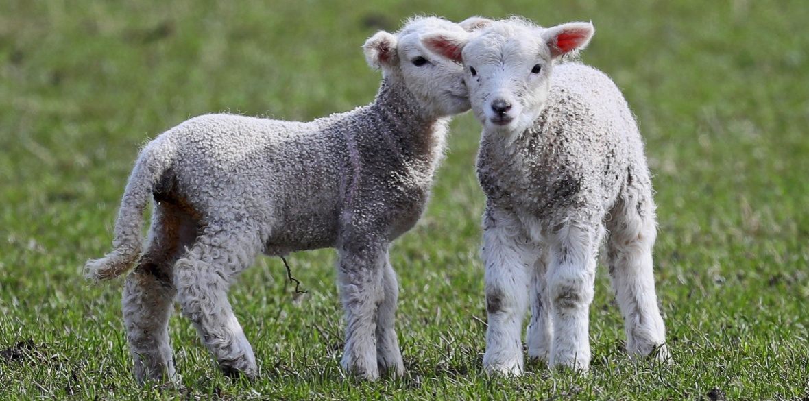 millions of lambs could