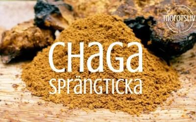 Chaga, sprängticka och kungen av medicinska svampar