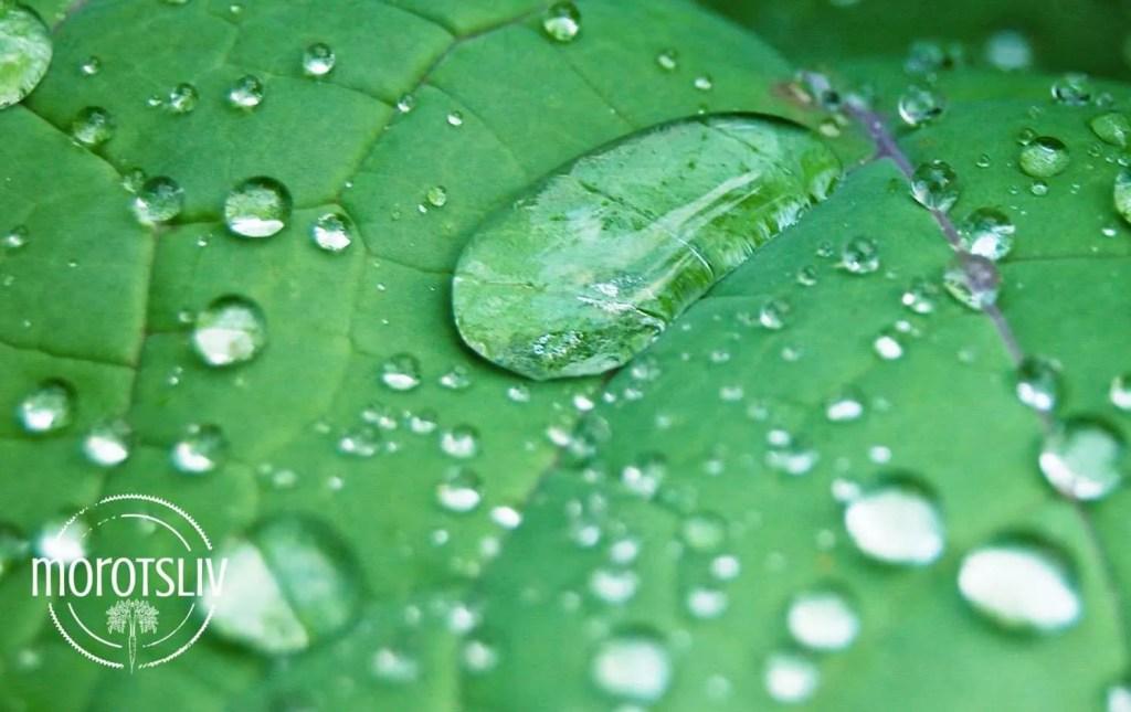 regndroppar-lotuseffekt