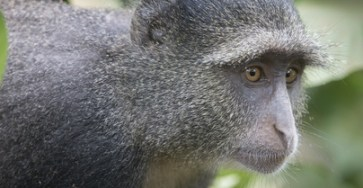 Blue Monkey Profile