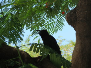 Large Billed Crow (Corvus macrorbynchos)