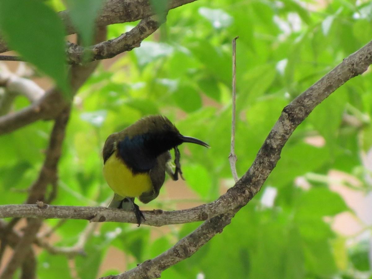 Olive-Backed Sunbird (Nectarinia jugularis) Bangkok