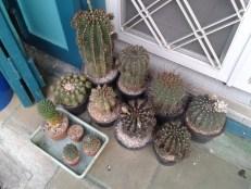Cacti in Bangkok