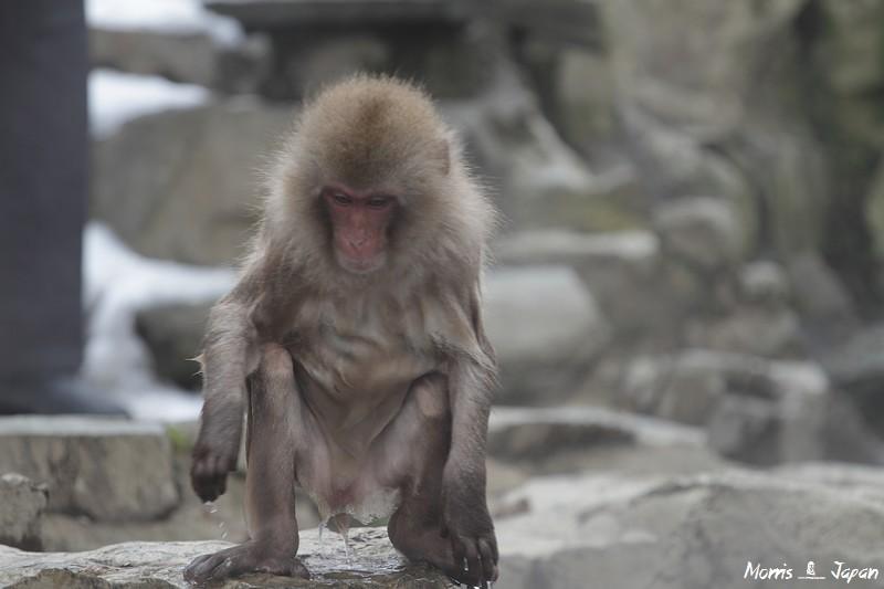 【長野】地獄谷野猿公苑 猴子泡溫泉 | 攝影‧旅行‧拈花惹草→Morris