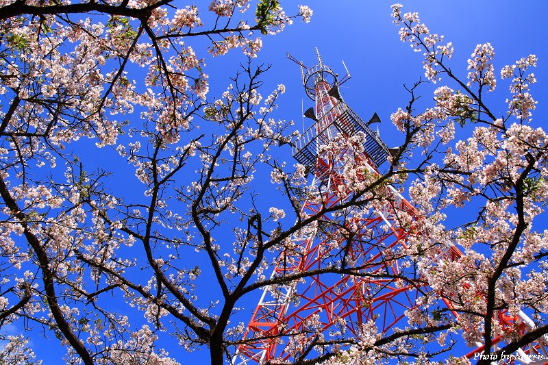 03D 阿里山櫻花季