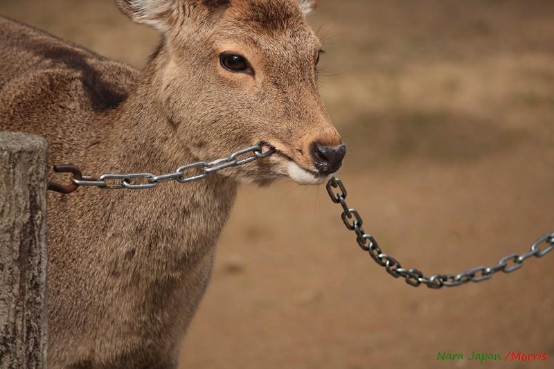 奈良 鹿寄 (55)