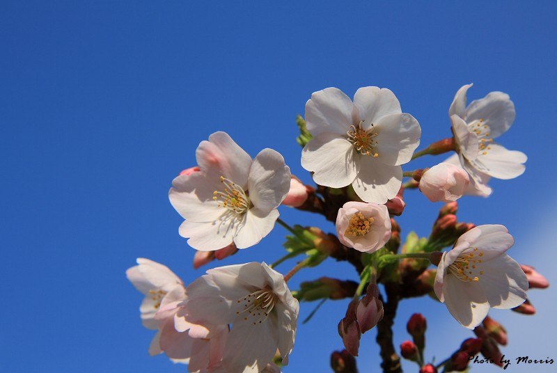 2010阿里山櫻花季 (01)