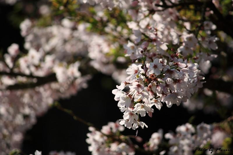 2010阿里山櫻花季 (34)