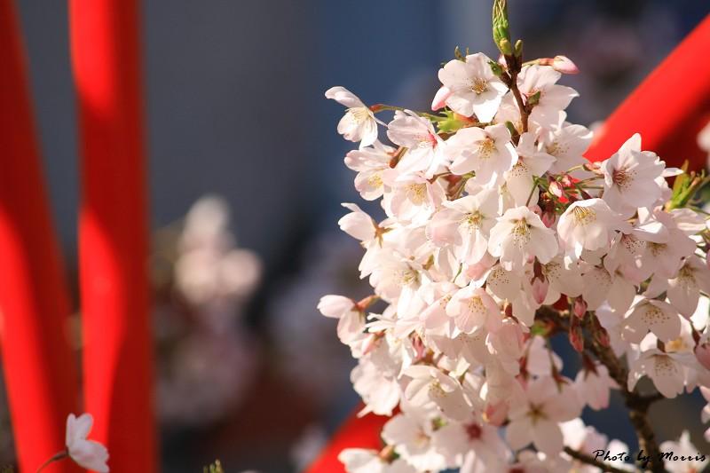 2010阿里山櫻花季 (24)