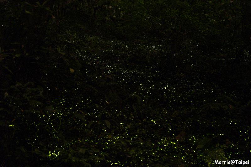 土城螢火蟲 (1)