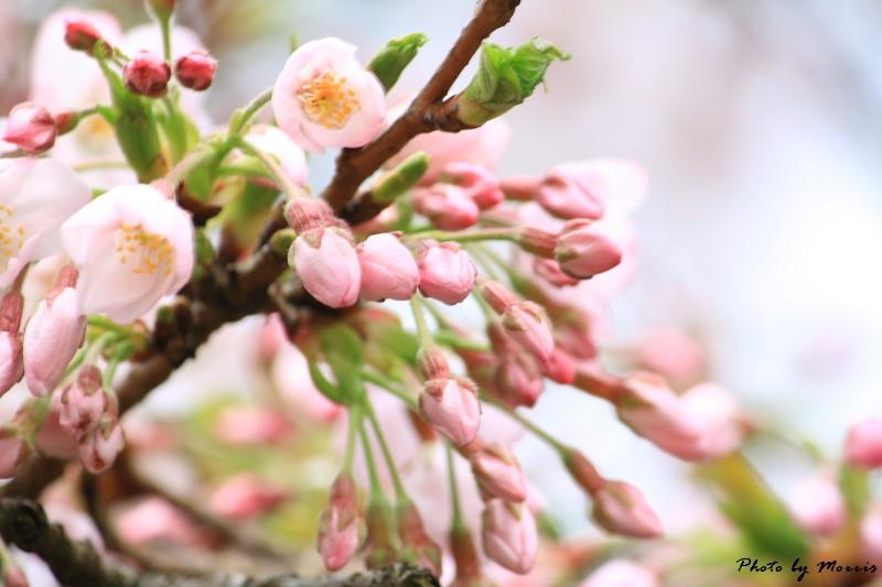 2010阿里山櫻花季 (41)