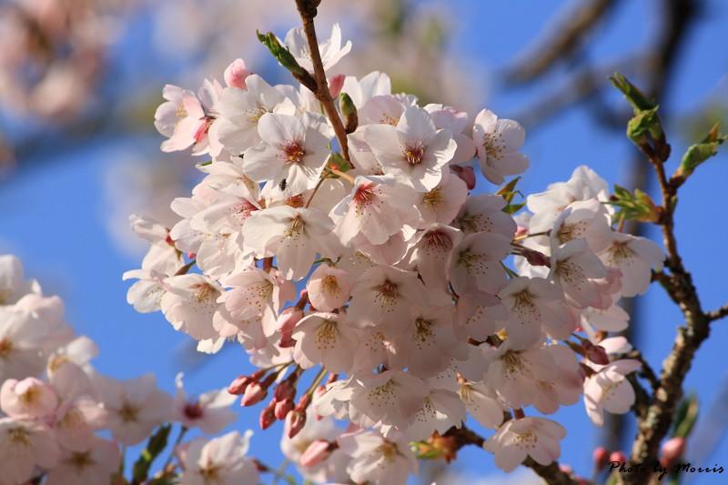 2010阿里山櫻花季 (15)