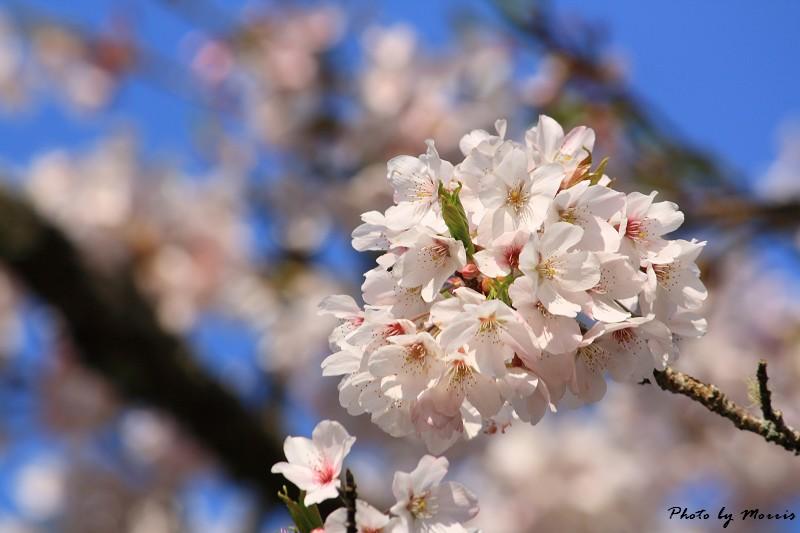 2010阿里山櫻花季 (19)
