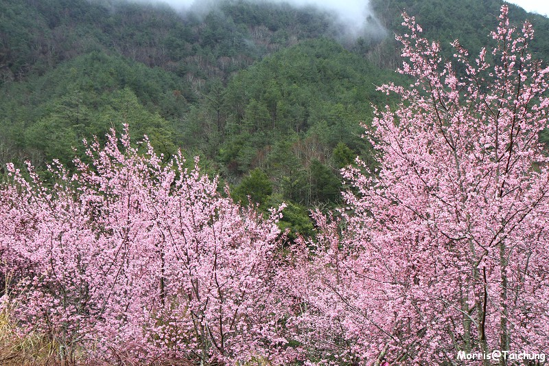 武陵農場粉紅櫻花季 (33)