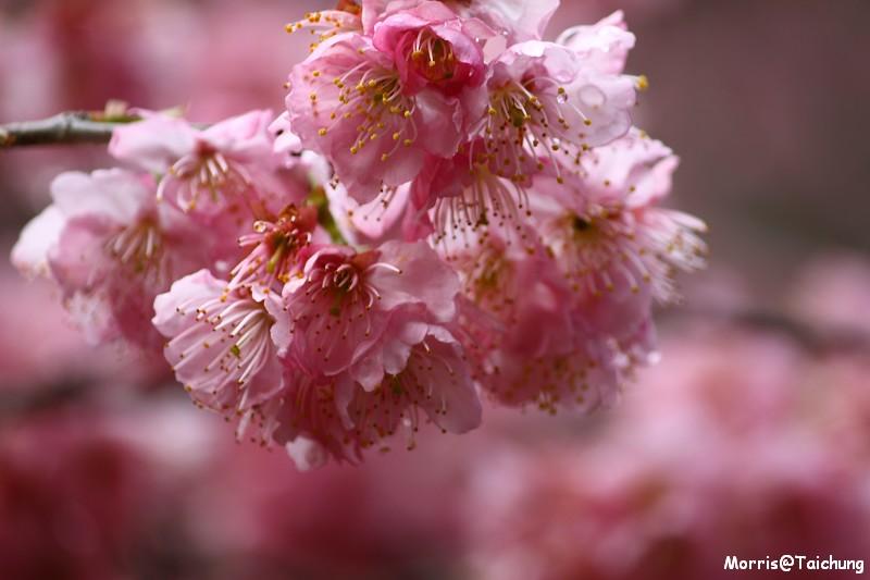 武陵農場粉紅櫻花季 (85)