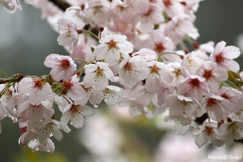 2011 阿里山櫻花季 (150)