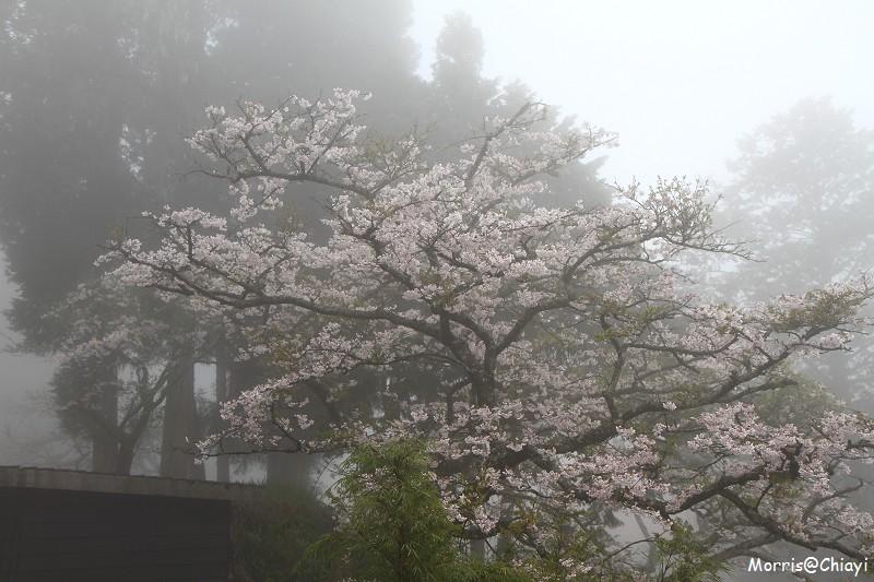 2011 阿里山櫻花季 (64)