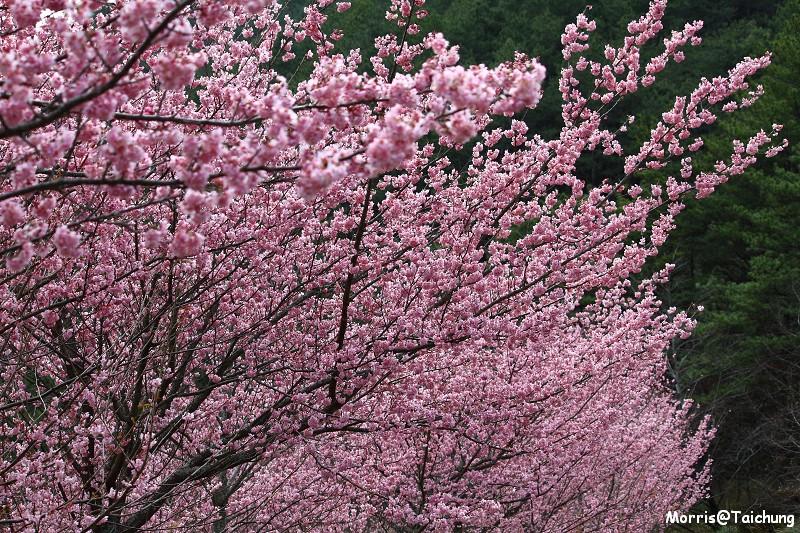 武陵農場粉紅櫻花季 (152)