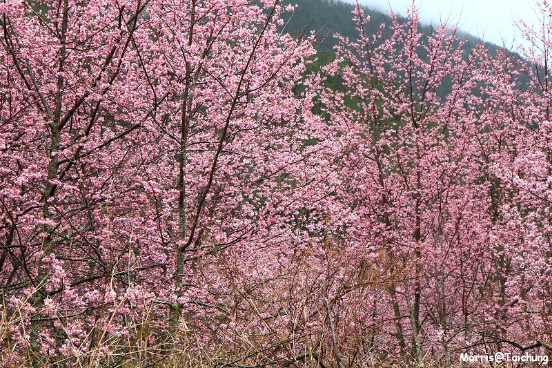 武陵農場粉紅櫻花季 (34)