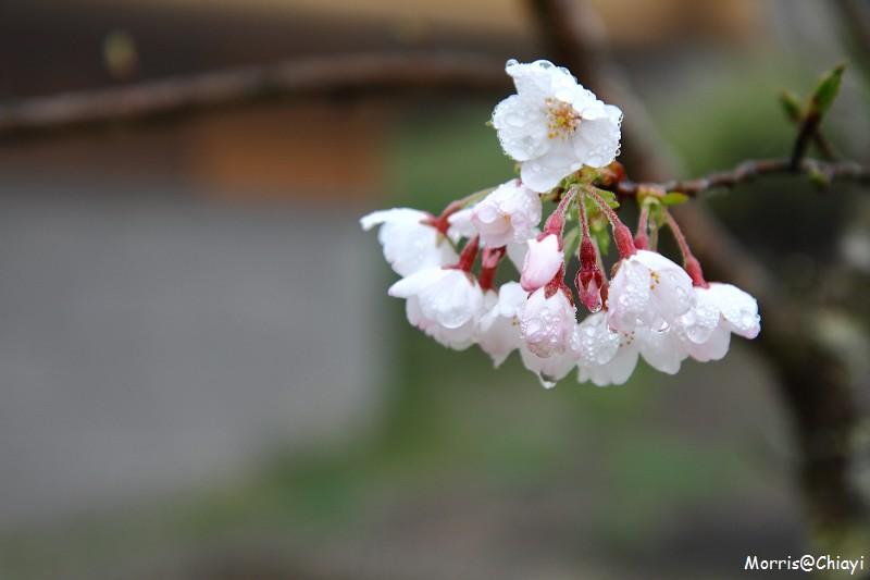 2011 阿里山櫻花季 (4)