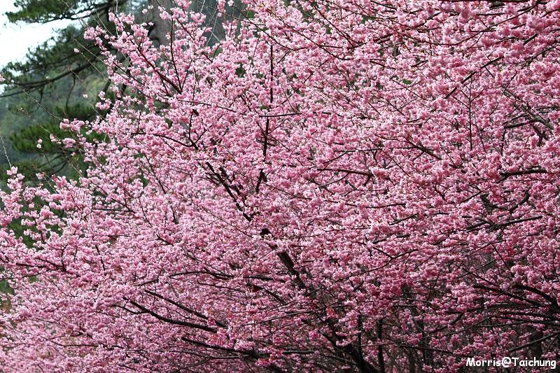 武陵農場粉紅櫻花季 (55)