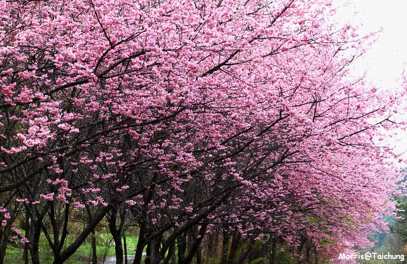 武陵農場粉紅櫻花季 (47)