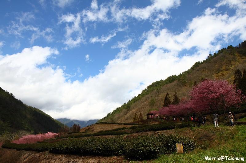 武陵農場粉紅櫻花季 (106)