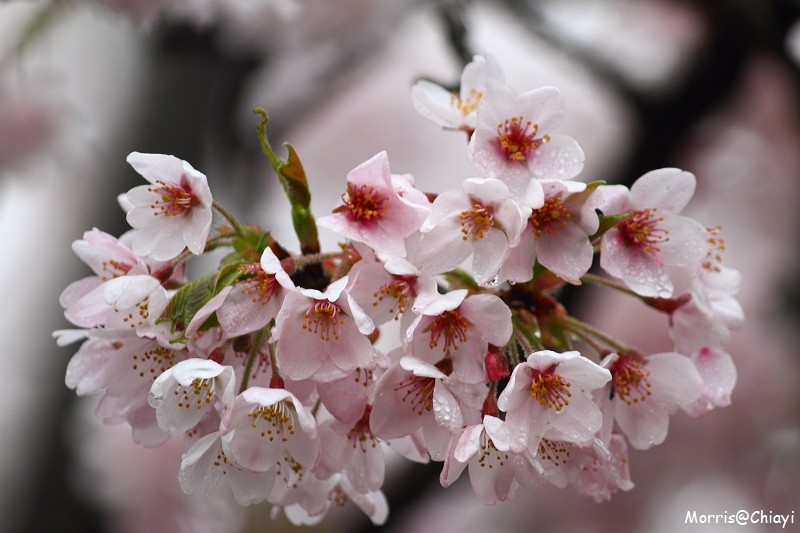 2011 阿里山櫻花季 (133)