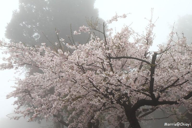 2011 阿里山櫻花季 (19)