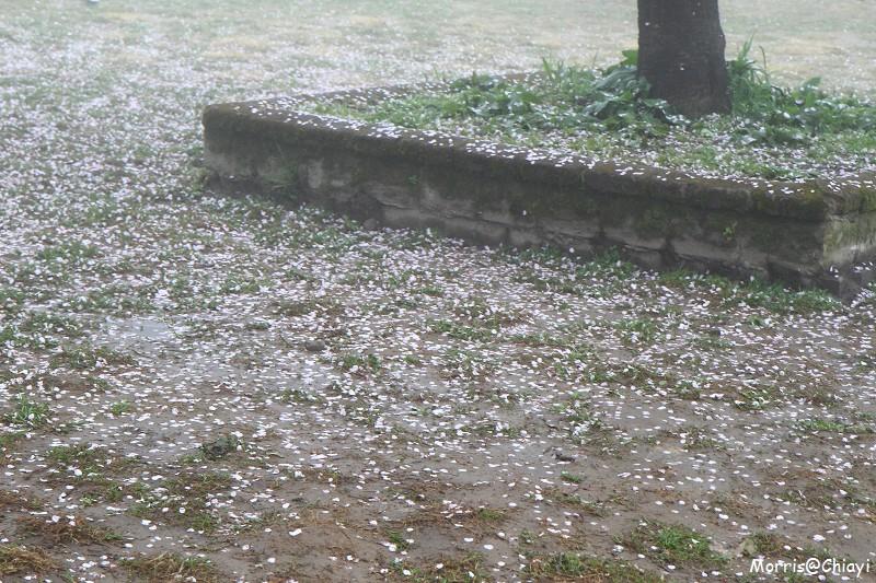 2011 阿里山櫻花季 (46)