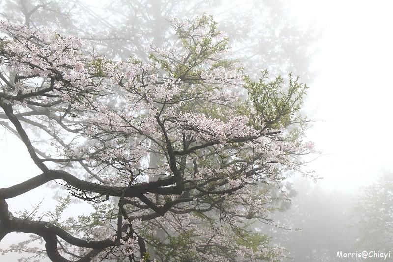 2011 阿里山櫻花季 (62)