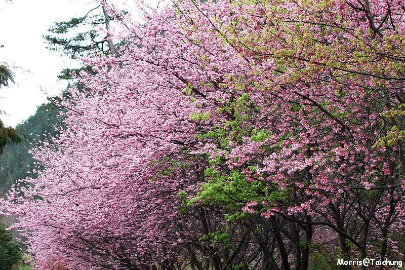 武陵農場粉紅櫻花季 (54)