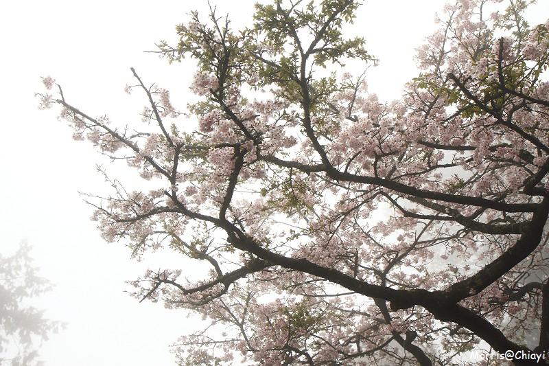 2011 阿里山櫻花季 (72)