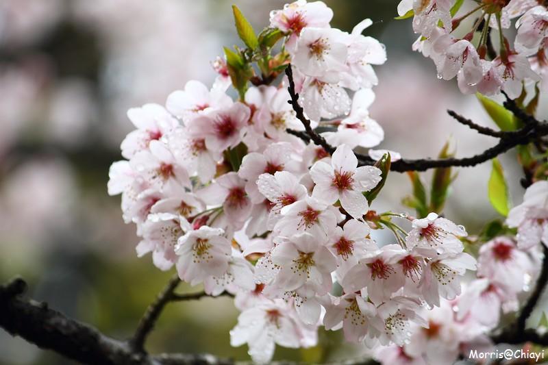 2011 阿里山櫻花季 (155)