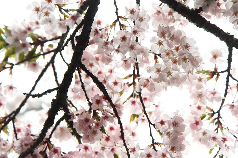 2011 阿里山櫻花季 (58)