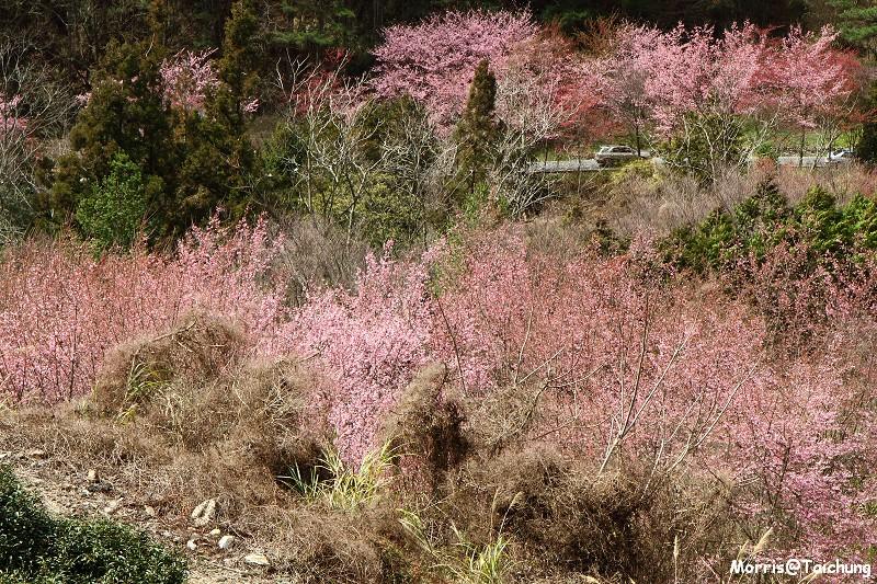 武陵農場粉紅櫻花季 (117)