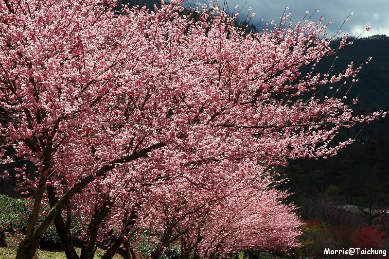 武陵農場粉紅櫻花季 (125)