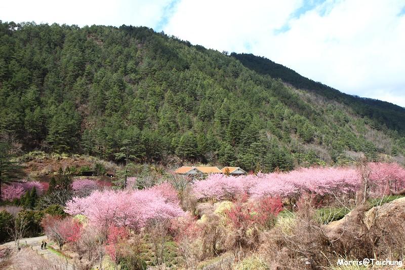 武陵農場粉紅櫻花季 (115)