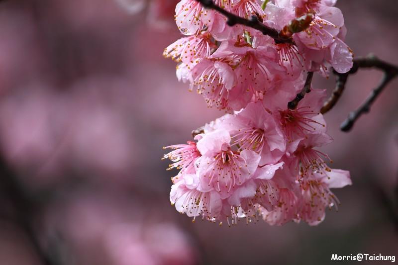 武陵農場粉紅櫻花季 (52)