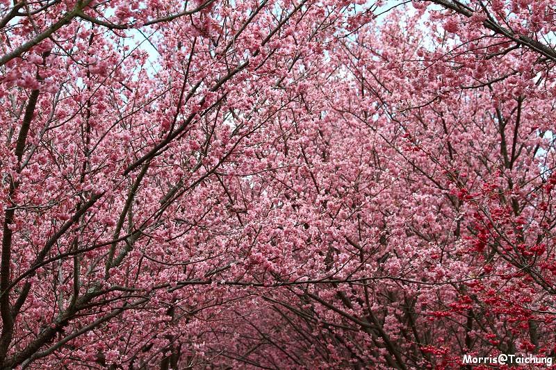 武陵農場粉紅櫻花季 (139)