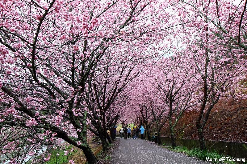 武陵農場粉紅櫻花季 (12)