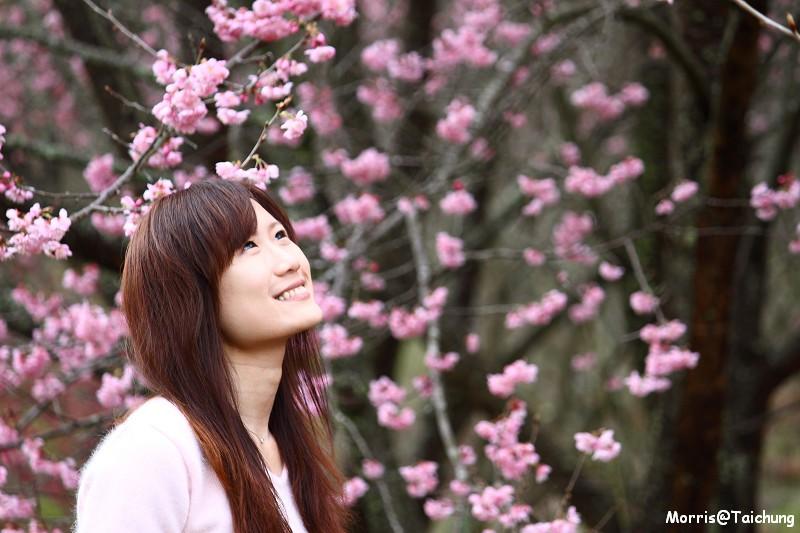 武陵農場粉紅櫻花季 (93)