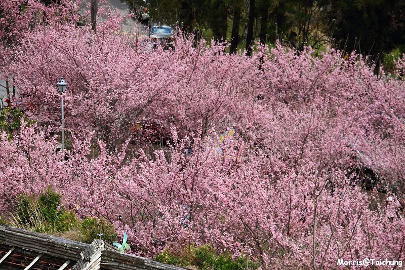 武陵農場粉紅櫻花季 (156)