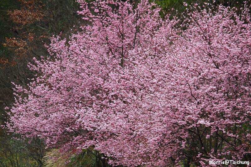 武陵農場粉紅櫻花季 (49)