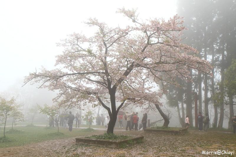 2011 阿里山櫻花季 (49)