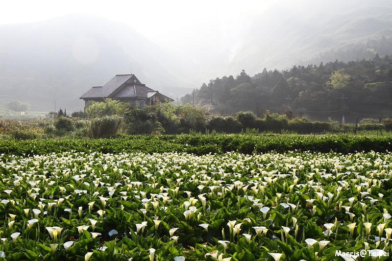 竹子湖海芋節 (15)