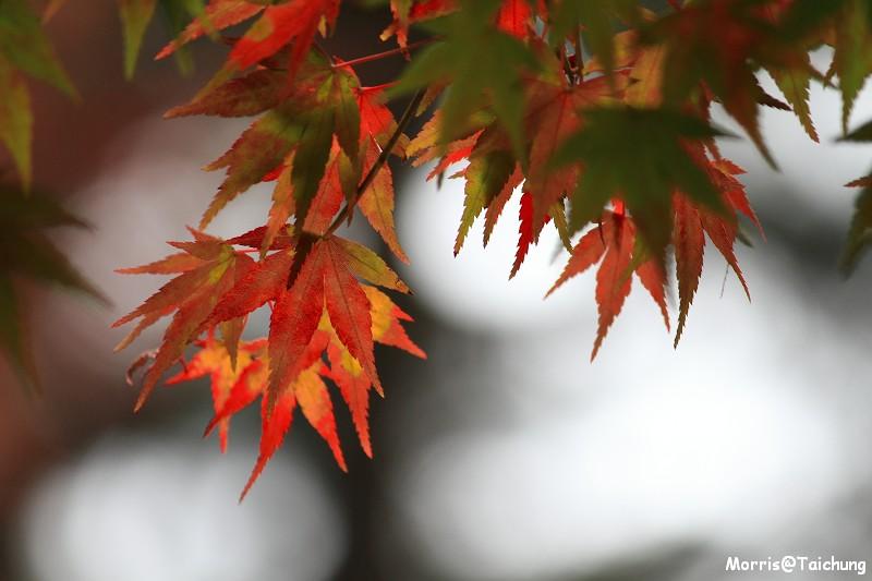 2011 福壽山楓葉 (35)